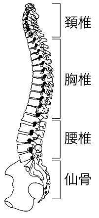 背骨骨格図