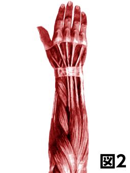 腕の筋肉図